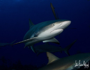 An afternoon of Reef Sharks on the beautiful reefs of the... by Steven Anderson 